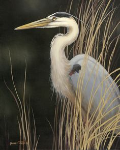 Great Blue Heron in grass,