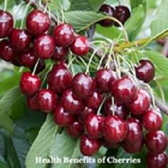 #Cherries are not only #delicious but also pack fo #vitamins and #plant_compounds with powerful effects. Here are 15 impressive #health benefits fo cherries for living #healthier. Growing Cherry Trees, Growing Tree, Growing Plants, Citrus Trees, Fruit Trees, Health Benefits Of Cherries, Growing Raspberries, Dried Figs, Sweet Cherries