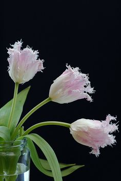 Pink Fringed Tulips