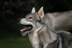 Tamaskan Dog / Tam / Tamaskan Husky / Finnish Dog