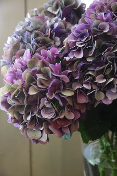 hydrangea Wales classic purple