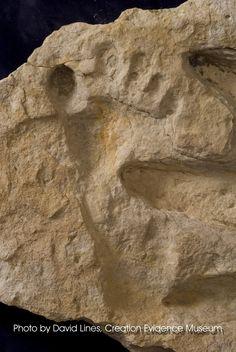 dinosaur footprints with humans   Human Footprint