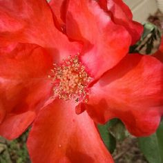 """Christine"" Large flower climbing rose blooming in my garden this week. #roses #RoseChat #GardenWalk - @vancleaverose- #webstagram"