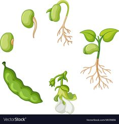 Life cycle of green bean Royalty Free Vector Image Sequencing Pictures, Sequencing Activities, Cartoon Trees, Plant Science, Parts Of A Plant, Montessori Materials, Preschool Science, Art Lessons Elementary, Math For Kids
