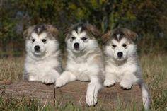 alaskan malamute dog photo   Alaskan Malamute Names at DogNamed.com
