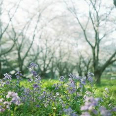 その他二眼レフカメラ - リズム -  flower  桜  紫花菜  春  ふてくされっと  - Camera Talk -