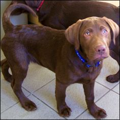 Little Ozzy as a puppy - Chocolate Lab
