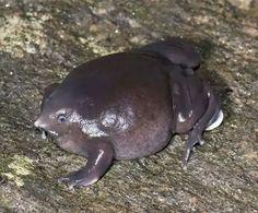 .... Pignose Frog ...