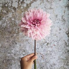 My first Dahlia of the year ♡ #frommygarden   Dahlias were long labeled as old-fashioned and I really don't know why. I simply admire this big beauty. .  .  #flowergirl #alittlebeautyeveryday #theartofslowliving #gatheringslikethese #stilllife #feelfreefeed #livethelittlethings #darlingmovement #thehappynow #darlingweekend #thatsdarling #theweekoninstagram .