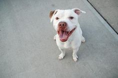GONE RIP 9/5/13 Brooklyn Center  POOCH - A0975834  Neutered male, white and tan Pit Bull Terrier mix.  1yr/9 mos