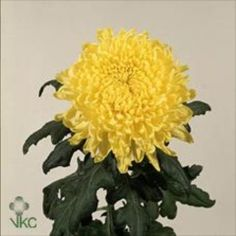 Chrysanthemum Blooms Yellow Wonder are a yellow, disbudded, single headed cut flower variety. 70cm tall & wholesaled in 10 stem wraps.