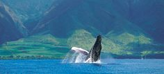 Whale Watching season - December to early May.  Waters of the Auau Channel between Maui, Molokai, and Lanai may be one of the best places in the world to see Hawaii's humpbacks.