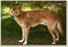 Cão Cantor de Nova Guiné