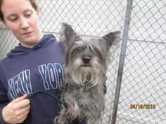 Toto is an adoptable Yorkshire Terrier Yorkie Dog in Norwalk, CT. PLEASE COME AND MEET ME! SATURDAYS & SUNDAYS SPCA OF CONNECTICUT & ANIMAL ADOPTION NETWORK 359 SPRING HILL ROAD MONROE, CT 06468 NOON ...