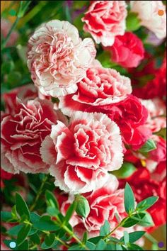 , ..... - Ersin Nazif - Google Beautiful Flowers Images, Wonderful Flowers, Flower Images, Flower Phone Wallpaper, Shade Plants, Carnations, Shade Garden, Garden Styles, Dream Garden