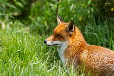 Red Fox by Robert Campbell on 500px