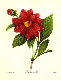 Vintage Red Dahlia Print Redoute Botanical Print Gift for Gardener Cottage Garden Decor Red Gallery Wall Art pjr 2978