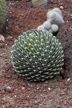 Image result for Queen Victoria Agave