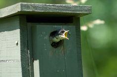 Build a Tree Swallow Nest Box