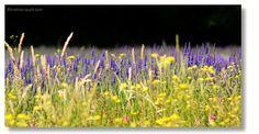 Lavendel, Greith bei Kitzeck Vineyard, Plants, Outdoor, Pictures, Lavender, Outdoors, Vine Yard, Vineyard Vines, Plant