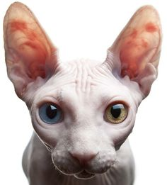 Sphynx with amazing eyes