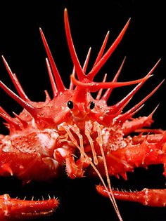 King Crab (Lithodes longispinus)--lives on deep-water sea floors around the North Island of New Zealand