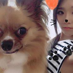 やっと正面向いた写真#ロン#愛犬#パピチワ#来月#トリミングしよ#ライオンカットに#🦁#dogstagram#dog#Chihuahua#papillon#love