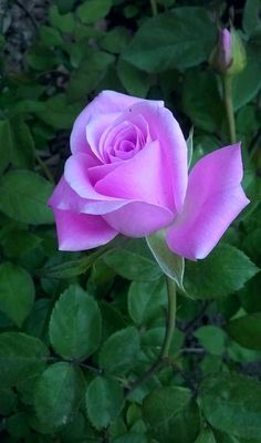 Beautiful Rose Flowers, Pretty Roses, Romantic Roses, Exotic Flowers, Beautiful Flowers, Lavender Roses, Purple Roses, Rose Reference, Red And White Roses