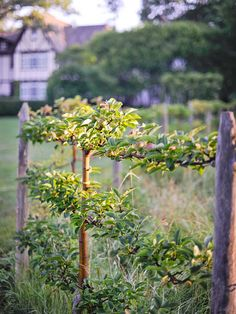 An espaliered apple tree adds angles to the garden's geometry. - Tradtiional Home ® / Photo: Matthew Benson