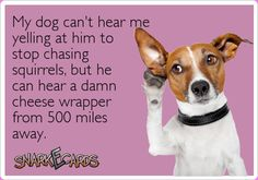 My dog can't hear me yelling at him to stop chasing squirrels, but he can hear a damn cheese wrapper from 500 miles away. funny, animals, humor, lol, lmao