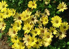 OSTEOSPERMUM Summertime Sweet Yellow