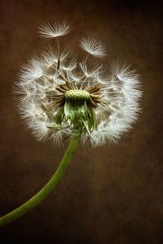 Beautiful floral photography by Mandy Disher Dandelion Clock, Dandelion Wish, Fuerza Natural, Foto Macro, Taraxacum, Seed Pods, Make A Wish, Macro Photography, Abstract Photography