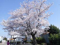 私の散歩道は花見道