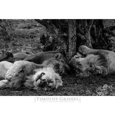 IT'S A CATS LIFE: Lions can sleep up to 20 hours a day what a tough life. #getoutside #getoutstayout #exploremore #theglobewanderer #letsgosomewhere #campvibes #optoutside #earthfocus #rei1440project #liveoutdoors #travelstoke #nakedplanet #blackandwhitephotography #amateurs_bnw #bnw_captures #world_bnw #bnw_life #ae_bnw #bnw_society #top_bnw #bnw_demand #superstarz_bw #bnw_planet #afrika #igs_africa #afrique #super_africa #ig_africa #unlimitedafrica #wildlife #wildlifephotography