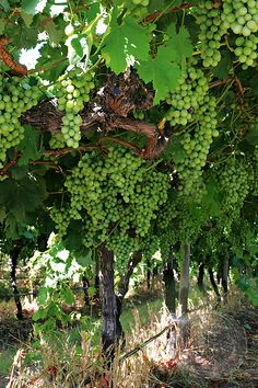 Wine grapes on the vine in South Africa's wineland's of the Cape.