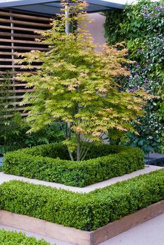 Japanese Maple tree in garden against blank wall at front of house