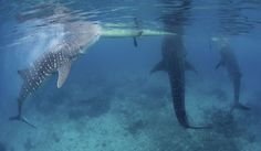 The interaction between the Filipino fishermen and whale sharks in Oslob (Luzon, Philippines) was photographed by conservationist Shawn Heinrichs (The Telegraph)