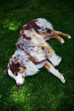 Red Merle Australian Shepherd...I seriously want every dog in the world! #AustralianShepherd