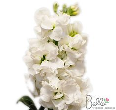 19 best stock flowers images on pinterest stock flower bright our white stock flowers are a great filler to accent floral arrangements we offer our mightylinksfo