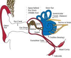 Ear infections - Otitis Media