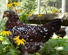 speckled sussex: love this breed!