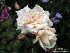 Safrano rose