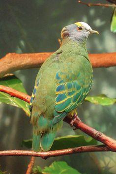 Ptilinopus coronulatus -Central Park Zoo-8a - Coroneted fruit dove - Wikipedia, the free encyclopedia