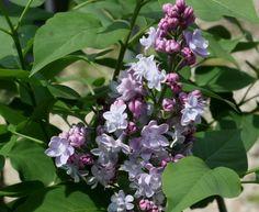 arbusti Syringa vulgaris Michel Buchner :: Vivai Priola
