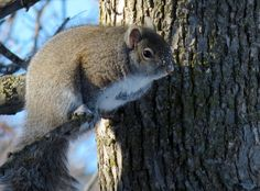 A chubby winter squirrel