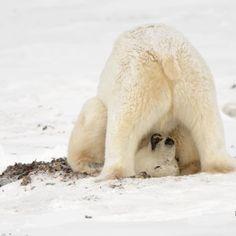 Happy Animals, Nature Animals, Funny Animals, Cute Animals, We Bear, Bear Cubs, Tiger Cubs, Tiger Tiger, Polar Bear Club
