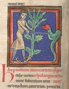 Illuminated miniature of a man holding the herb Vervain (Verminatia) with his left hand while spearing a serpent with a sword with his right. Medical and herbal collection, including Pseudo-Apuleius, Herbarius; Pseudo-Dioscorides, De herbis femininis (ff. 49v-73); Sextus Placitus, De medicina ex animalibus. England, N.? or France, N.?; last quarter of the 12th century