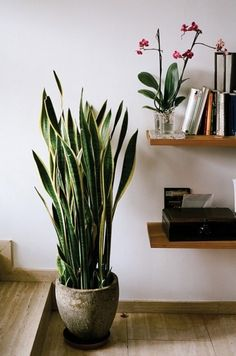 Sansevieria (snake plant). Hardy plant, drought and shade tolerant, and cleans the air.