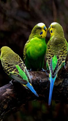 Picture of three budgerigars. eagle owls of paradise birds Funny Birds, Cute Birds, Pretty Birds, Beautiful Birds, Animals Beautiful, Parakeet Colors, Budgie Parakeet, Parakeets, Exotic Birds