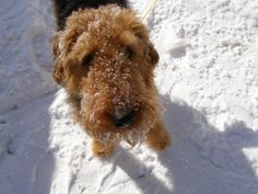 airedales love snow.